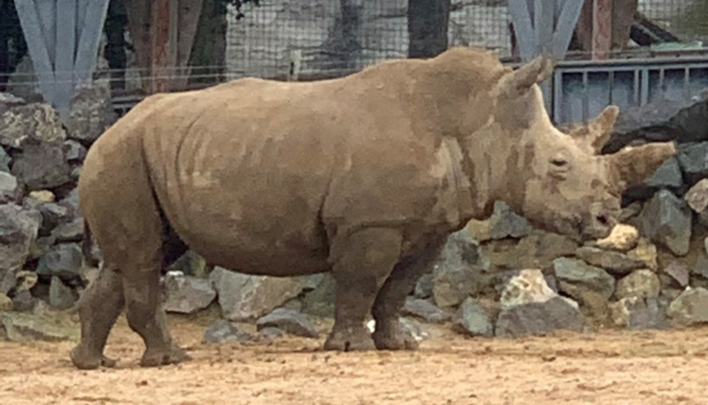 Colchester Zoo's Black rhino for closer comparison